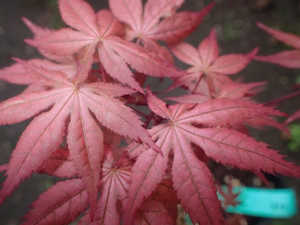 Acer palmatum 'Uncle ghost'